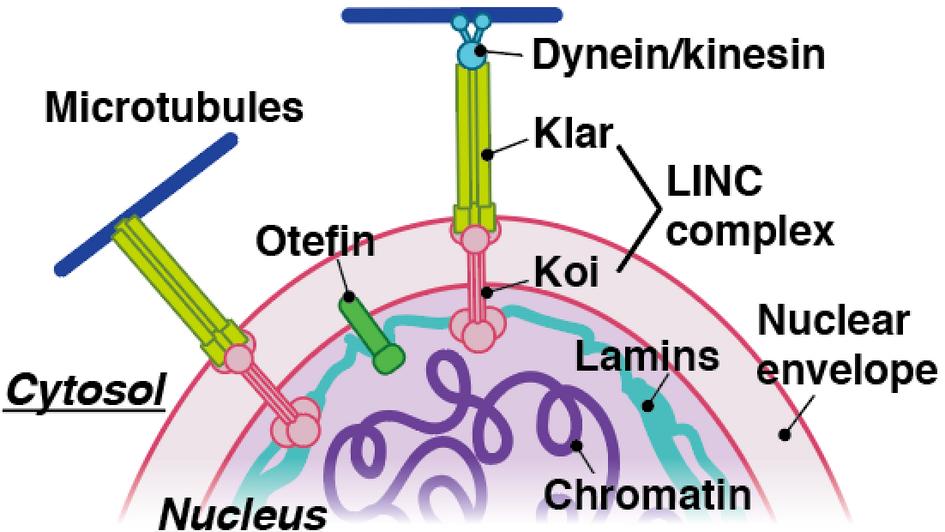 Drosophila nuclear lamina