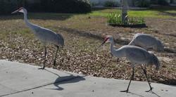 SandCraneWalking-Davenport-Florida-Visit-Photos-Nature