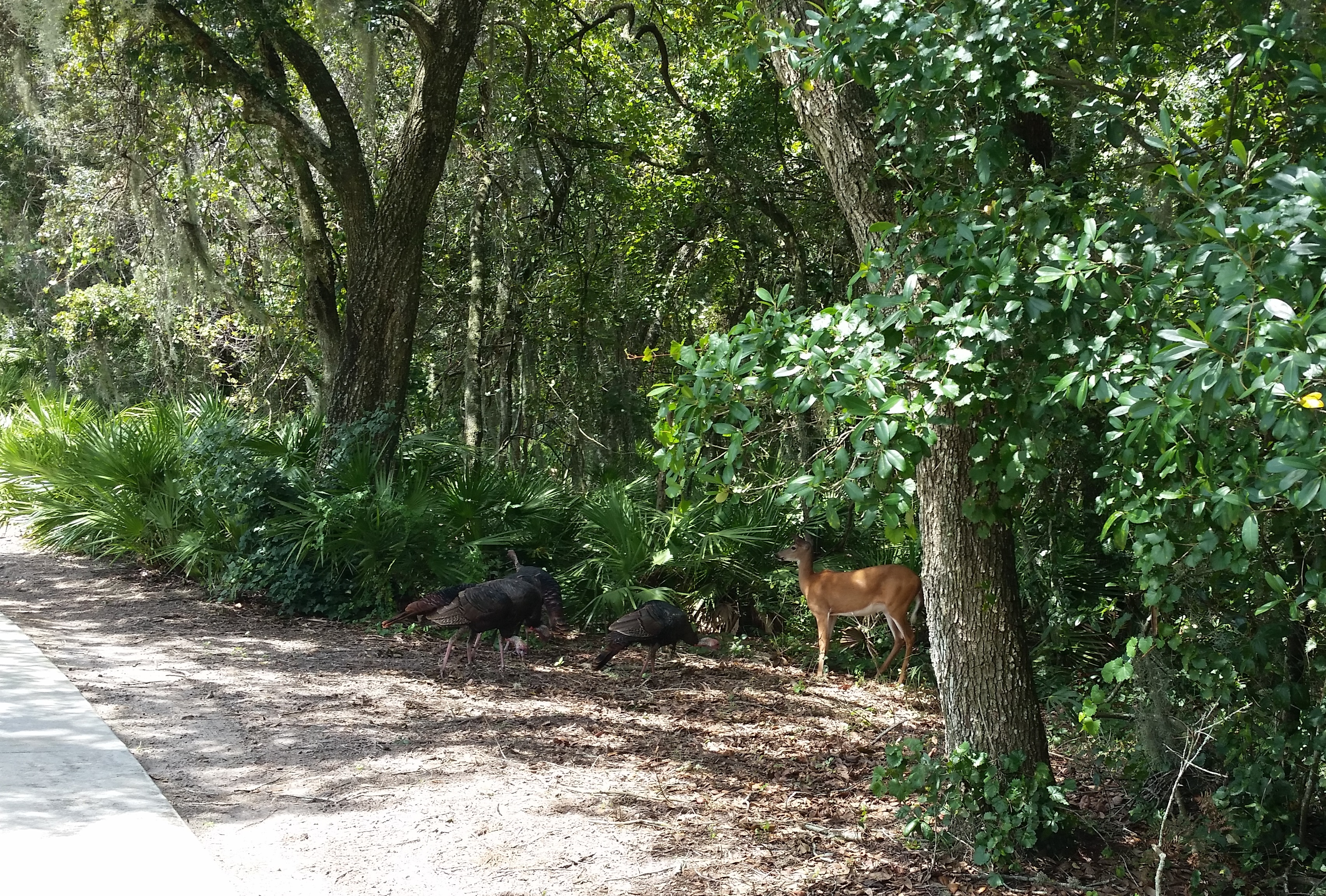 turkey-deer-nature-wildlife-outdoors-davenport-florida