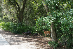 turkey-deer-nature-wildlife-outdoors-davenport-florida