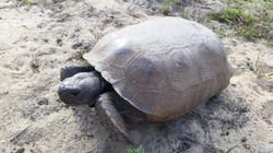 visit-davenport-florida-gopher-tortoise-yard-nature-photos-1