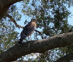 visit-davenport-florida-hawk-birds-yard-nature-photos-1