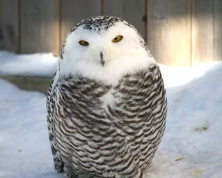 75th Hudson Christmas Bird Count December 27, 2015