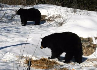 Early awakening for Ecomuseum's black bears