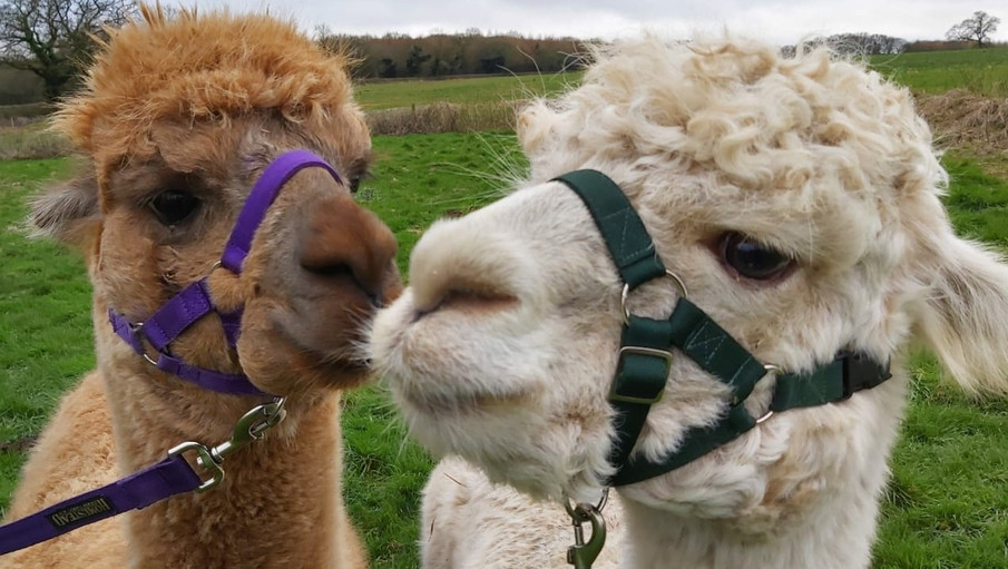 alpacas (2).jpeg