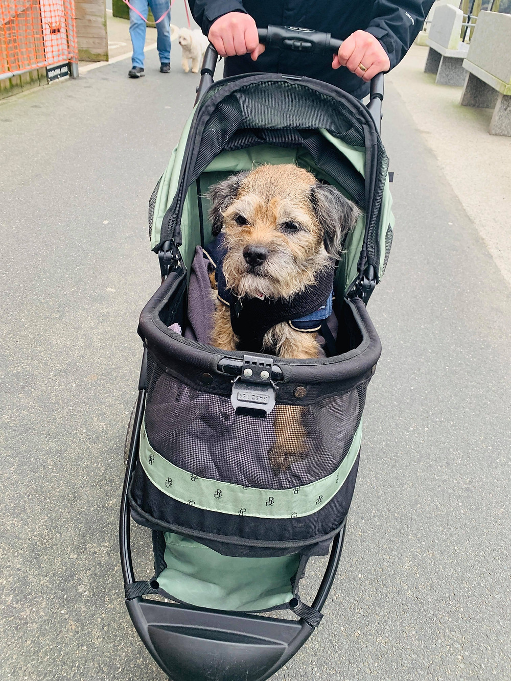 Barney to border terrier sat in his dog buggy, being pushed