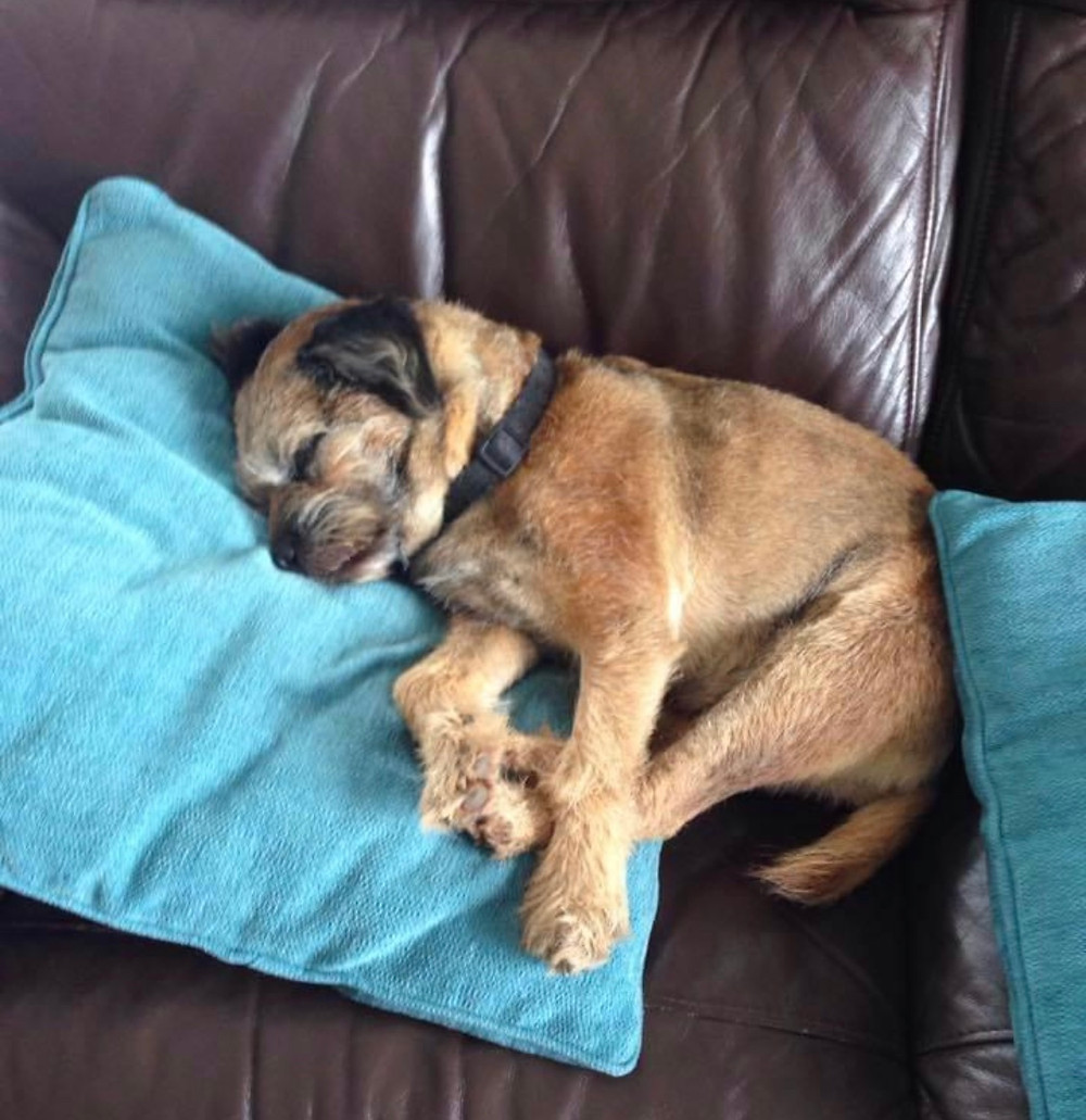 Barney sleeping on the sofa - head perfectly positioned on the cushion