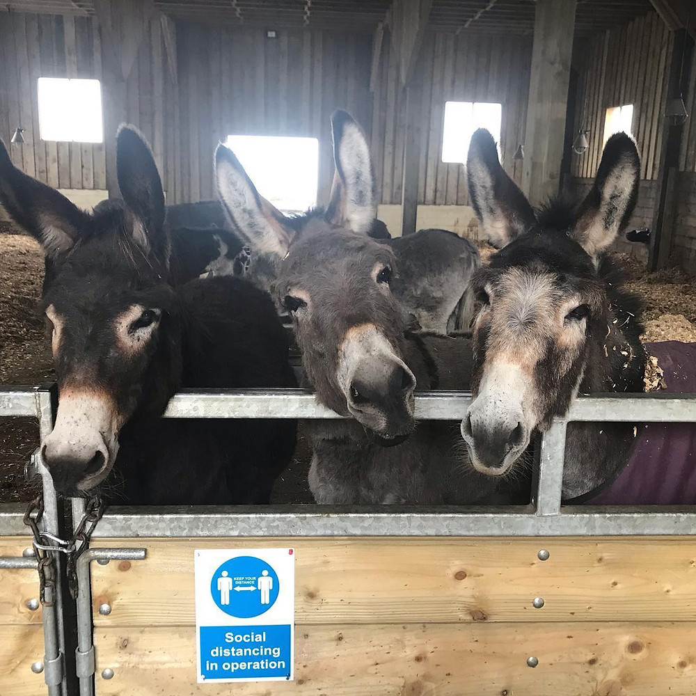 3 donkeys leaning over the barn door staring directly at the camera. Funny social distancing sticker stuck to the gate below their faces