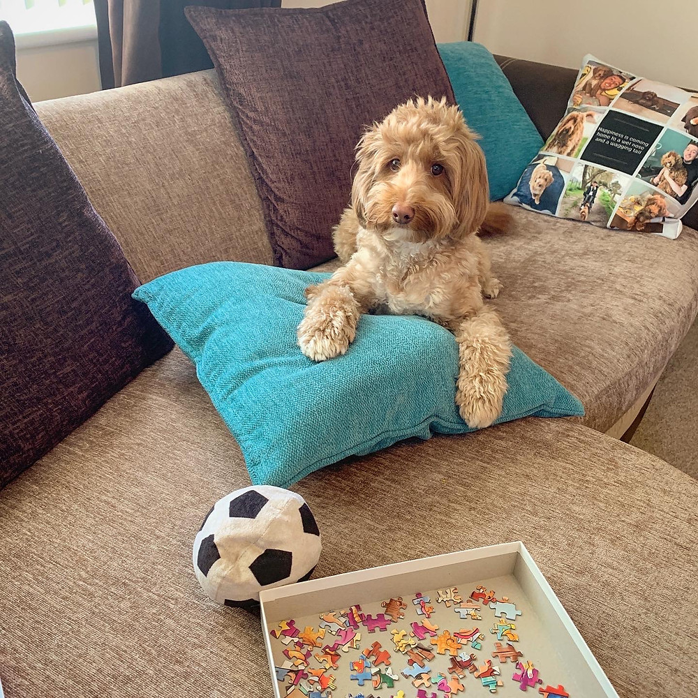 Ralph the cockapoo sat on the sofa with his ball, beside Ross's puzzle tray
