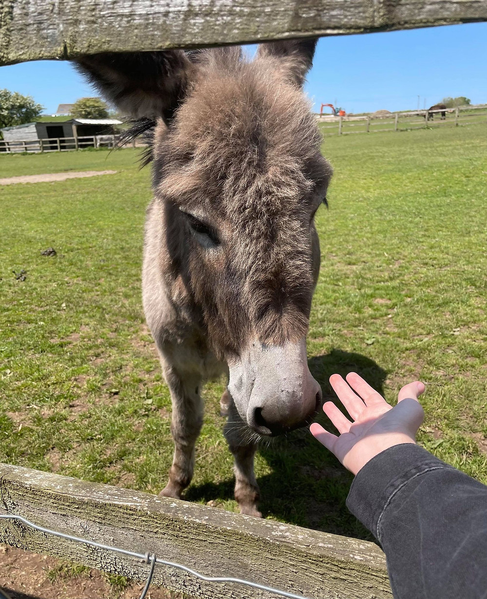 Ross's arm reaching through a fence to touch a donkey