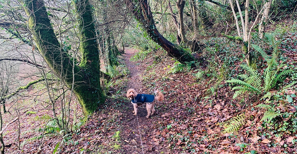 Ralph the cockapoo in the muddy forest