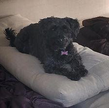 Black schnauzer puppy