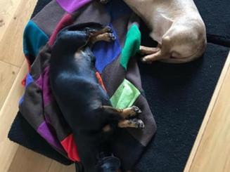 Mr Wiggy and rowan the sleeping sausage dogs