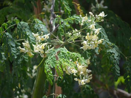 About Moringa