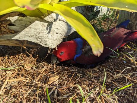 Hormone Amplification in companion parrots