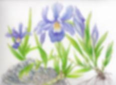 iriscrista+4004web600sml.jpg
