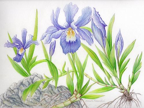 Iris Cristate watercolor unframed