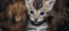 Brown Bengal kitten