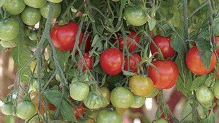 Trailing Cherry Tomatoes 'Tumbling Tom' Plant