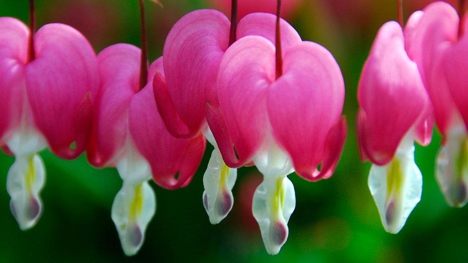 Bleeding Heart 'Genus: Dicentra Species: spectablis'