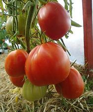 Red pear arbuzesse.jpg