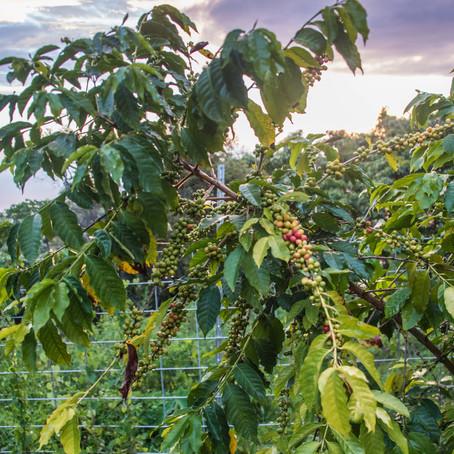 Kona Coffee Kahlua