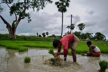 Paddy Cultivation