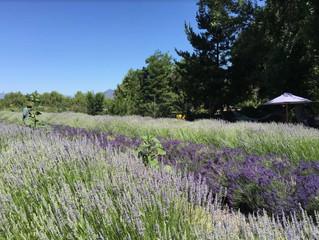 Frog Creek Lavender Farm - Field trip Reminiscing