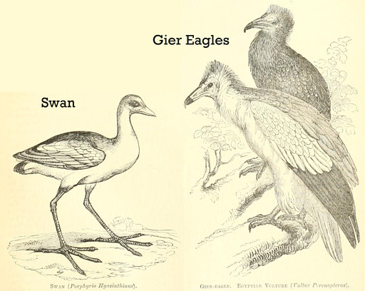 The swan, pelican and gier eagle cannot be eaten