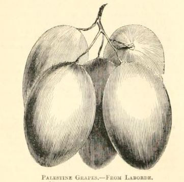 Palestine grapes