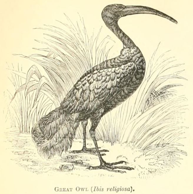 The owl and cormorant cannot be eaten
