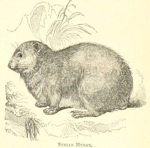 The coney or hyrax may not be eaten