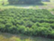 減農薬栽培大豆畑