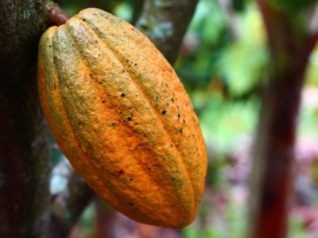 IMPACT OF CLIMATE CHANGE ON COCOA FARMING IN GHANA, THE SECOND LARGEST COCOA BEAN PRODUCER