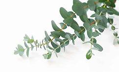 eucalyptus-round.jpg