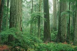 Sitka Spruce Grove Bob Herger