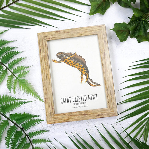 Framed art print of an illustrated great crested newt by Jess Smith from Silverpasta Crafts