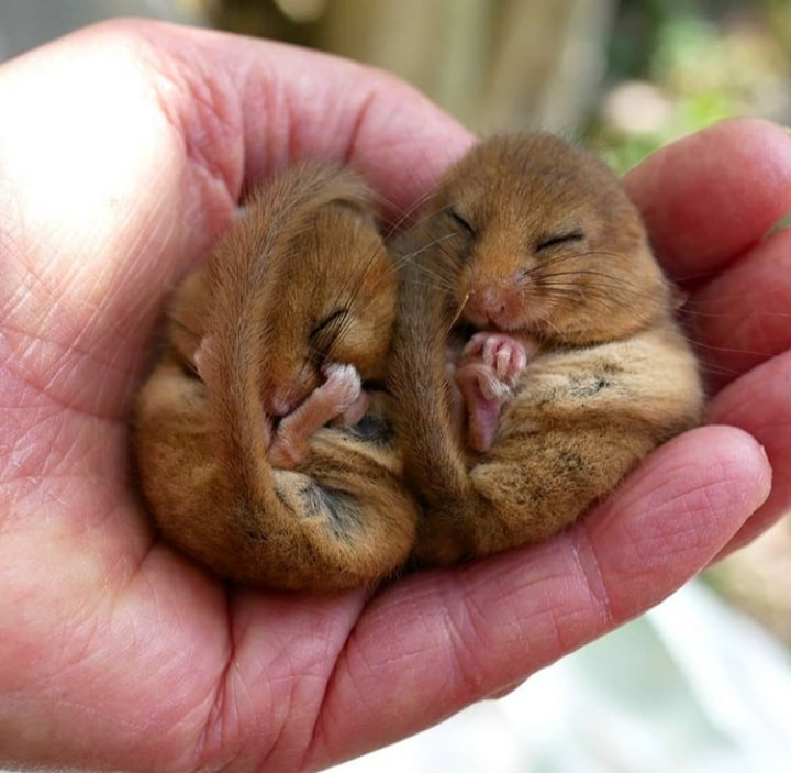 Two torpid dormice in a hand