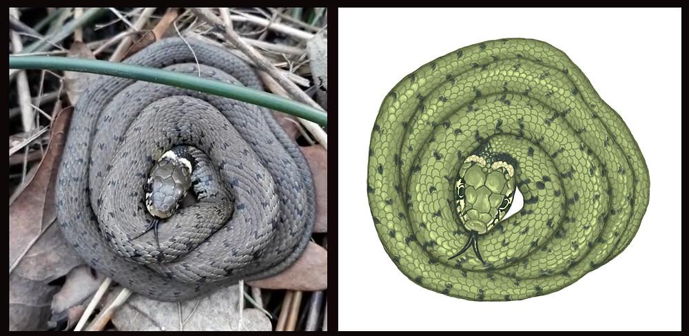 Grass snake illustration silverpasta