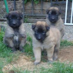 Belgian Shepherd Puppies