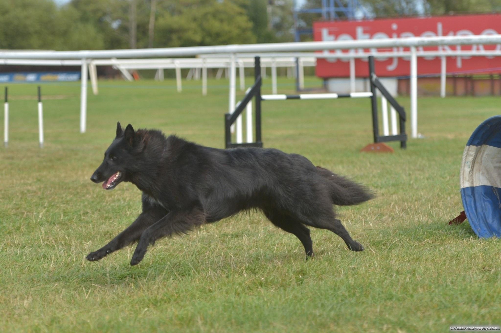 Belgian Shepherd (Groenendal)