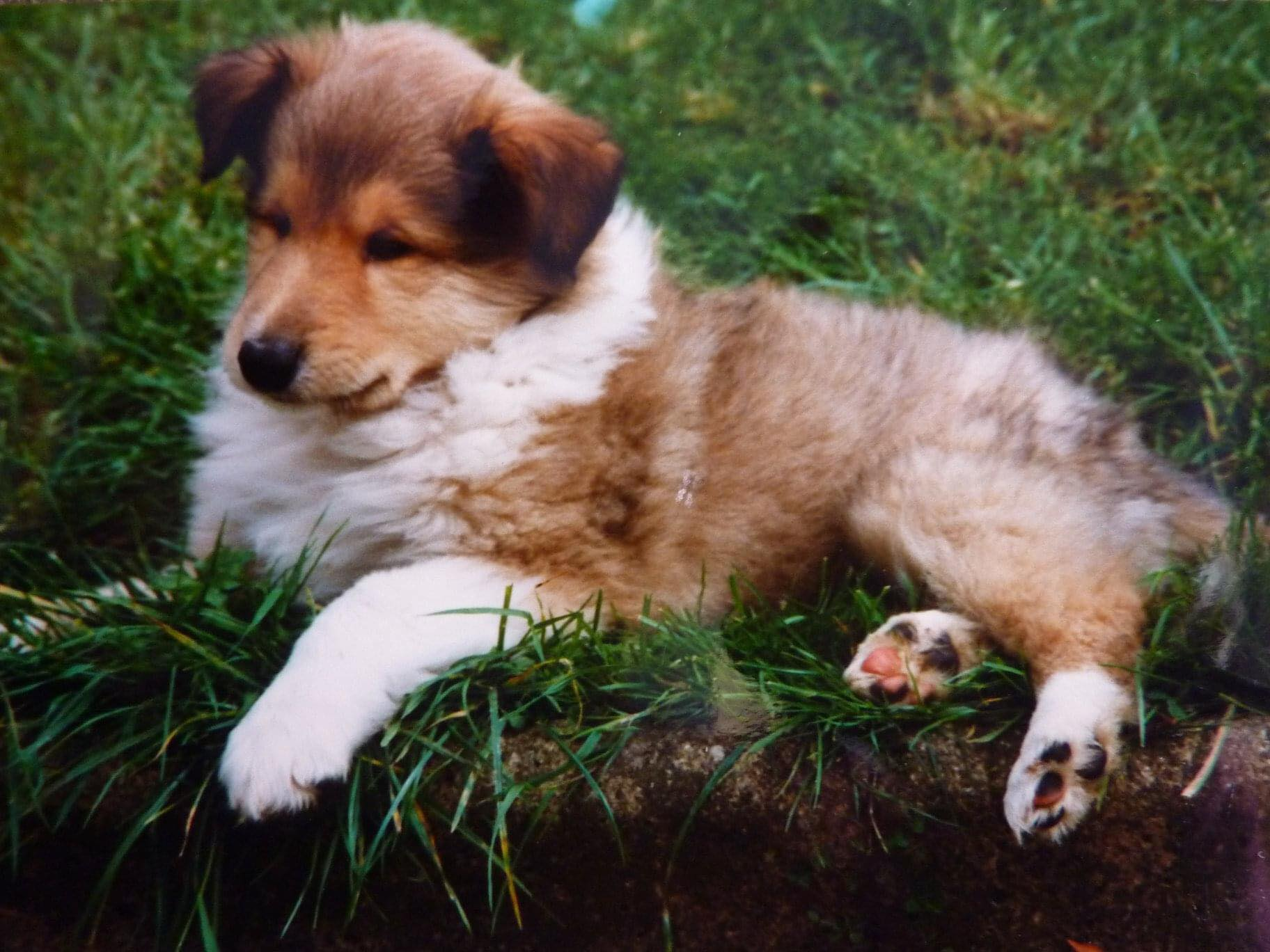 Rough Collie Puppy