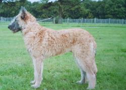 Belgian Shepherd Dogs (Laekenois)