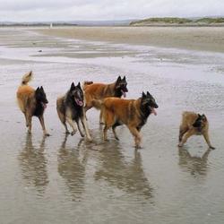 Belgian Shepherd Dogs (Tervueren)