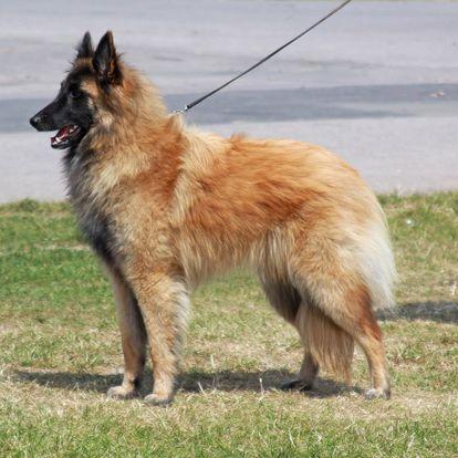Belgian Shepherd (Tervueren)