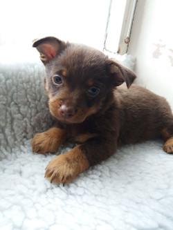 Lancashire Heeler Puppy