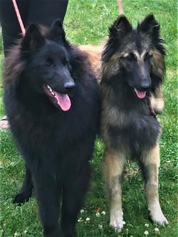 Belgian Shepherd Dogs (Groenendal & Tervueren)