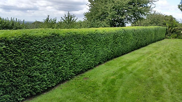 hedge4.jpg