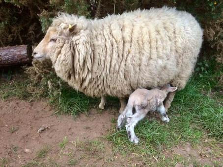 First Lamb Born