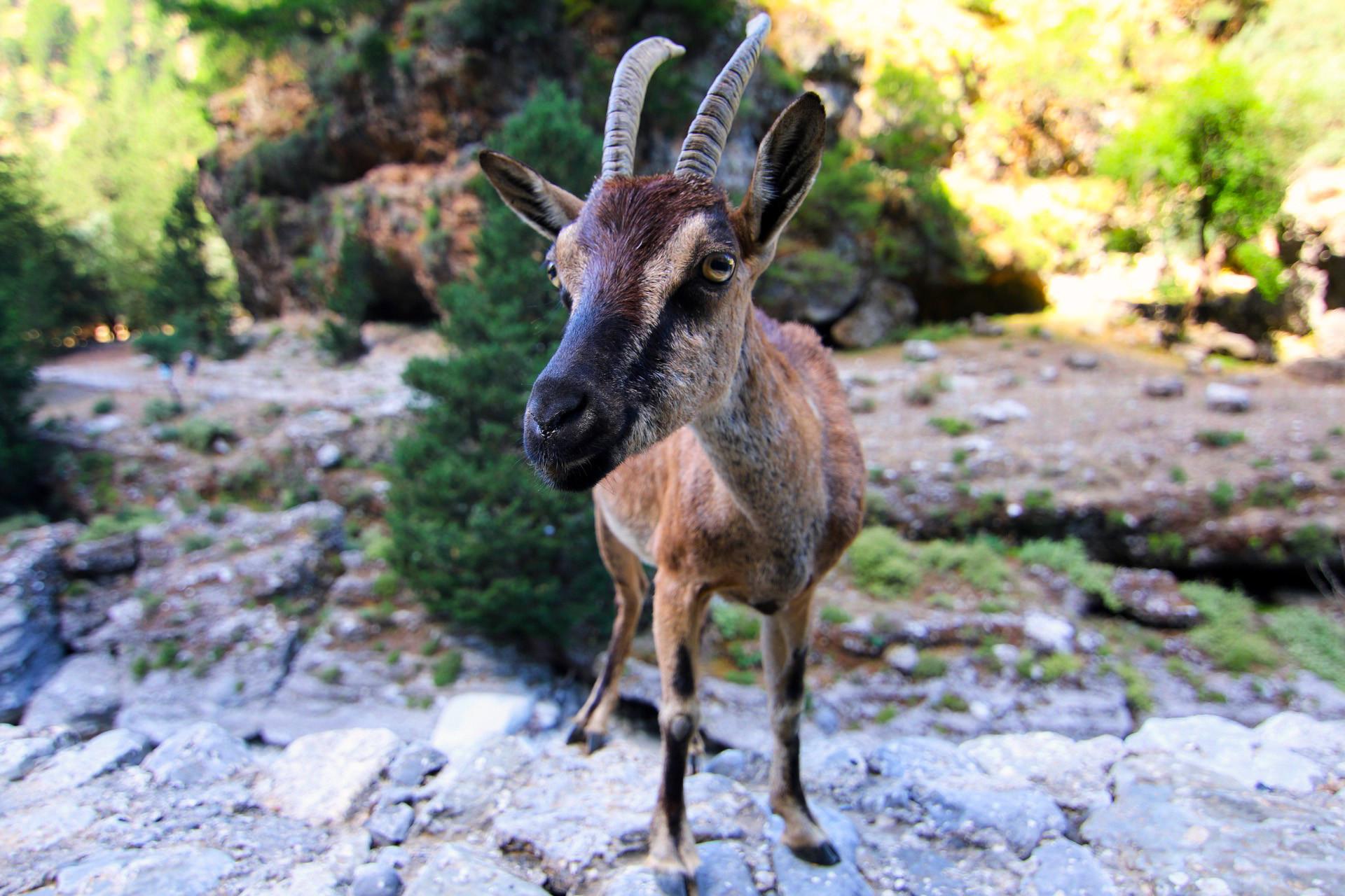Cretan Ibex
